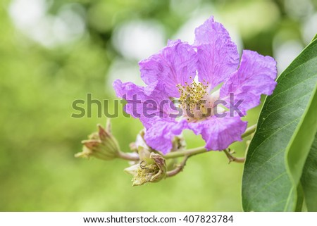 Purple flowers,Queen's Flower, Queen's Crape Myrtle, Pride of India: in Thailand.