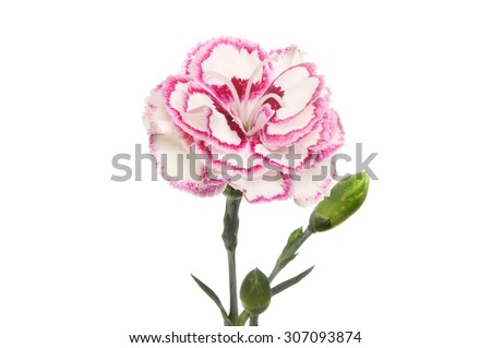 Purple fringed carnation, Dianthus, flower and buds isolated against white - stock photo