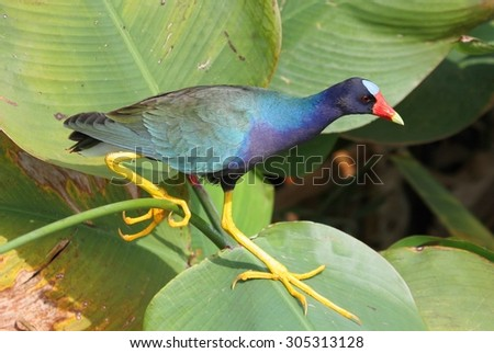 Purple Gallinule (Porphyrio martinica) in the Florida Everglades - stock photo