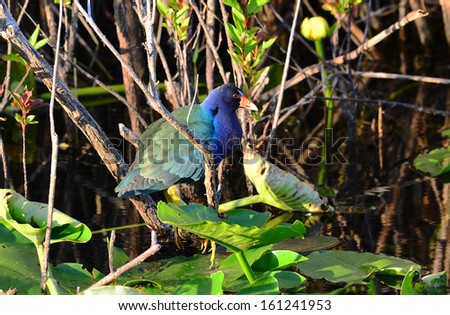 Purple Gallinule (Porphyrio martinica) wading through lily pads in swampy area of Florida Everglades.