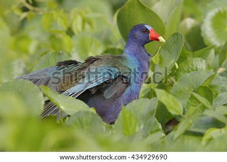 Purple Gallinule (Porphyrio martinicus) in a Marsh - Chagres River, Panama