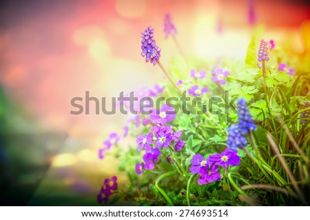 Purple garden flowers in back light on blurred nature background, close up, toned - stock photo