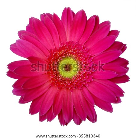 Purple gerbera isolated on white background - stock photo