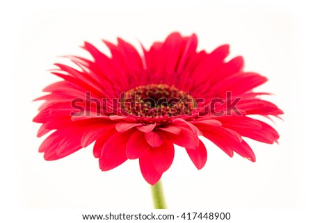 Purple gerbera isolated on white background / beautiful red gerbera flower isolated on white background