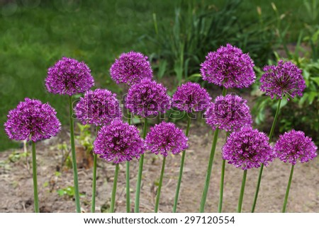 Purple giant  Allium Flowers plant in the garden - stock photo