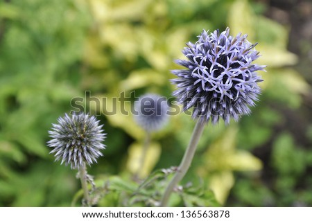 Purple Globe Thistle flowers in bloom - stock photo