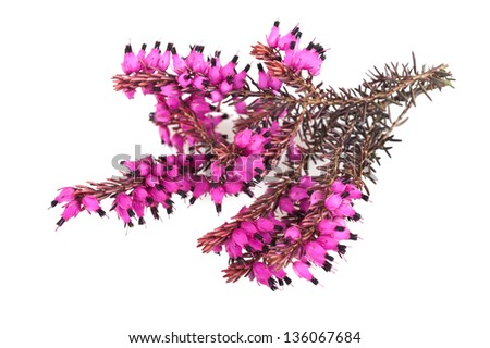 Purple heather branch isolated on white background - stock photo