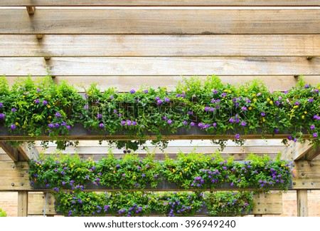 Purple Hedge Flower, Weeping Lantana, Lantana camara under wooden pergola - stock photo
