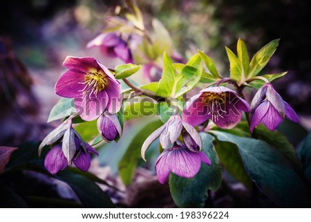purple hellebore flower, also known as Christmas rose and Lenten rose - stock photo