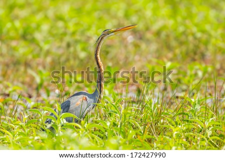 Purple heron(Ardea purpurea) is stair at us in nature of Thailand