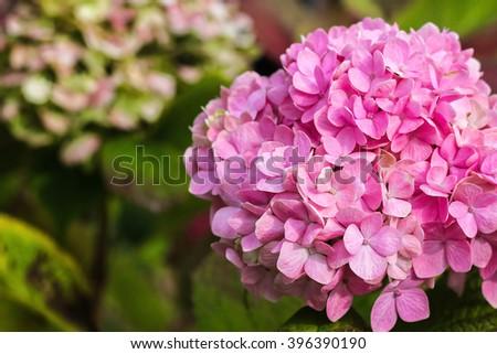 Purple Hydrangea flower (Hydrangea macrophylla) in a garden. - stock photo