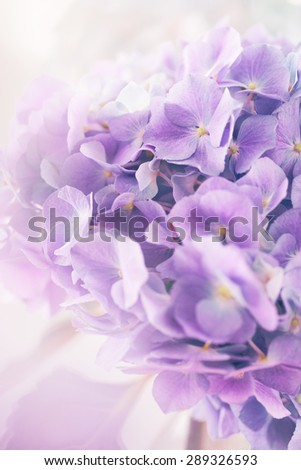 purple hydrangea flower with color effect and solf light