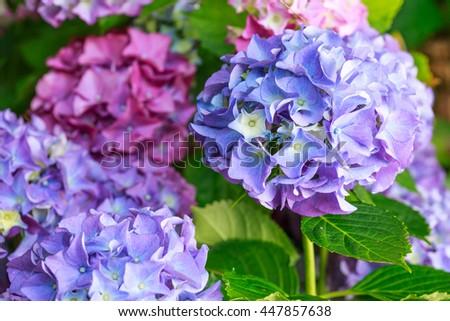 Purple Hydrangea flowers - stock photo