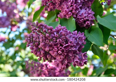 Purple inflorescence of Syringa is photographed closely at the moment of blooming. - stock photo