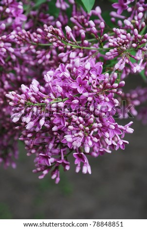 Purple inflorescence of Syringa is photographed closely at the moment of blooming.