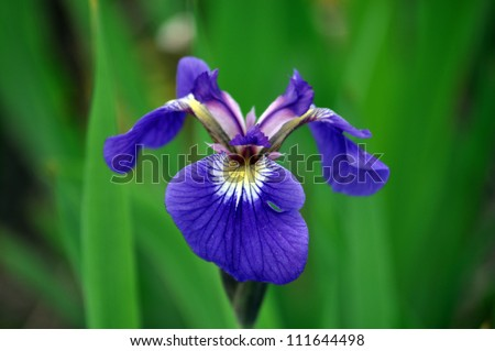 iris sanguinea stock photo   shutterstock, Beautiful flower