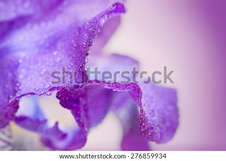 Purple iris flower macro on a white background