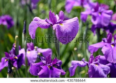 purple iris flower on flower bed