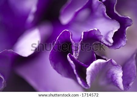 Purple Iris macro - stock photo