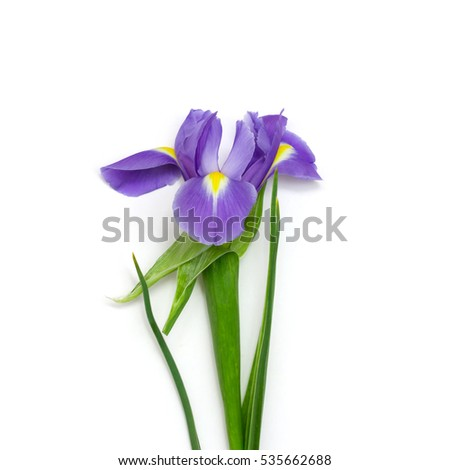 purple iris on a green stem with leaves on a white background