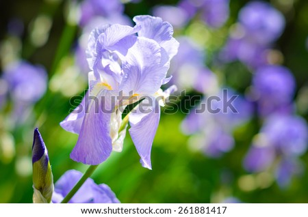 Purple Iris on a meadow. Soft focus or shallow depth of field. Iris flower. Blue iris. Petals of a flower of an iris.