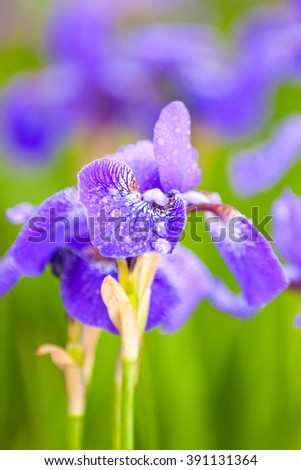 purple irises, lush garden in summer, closeup