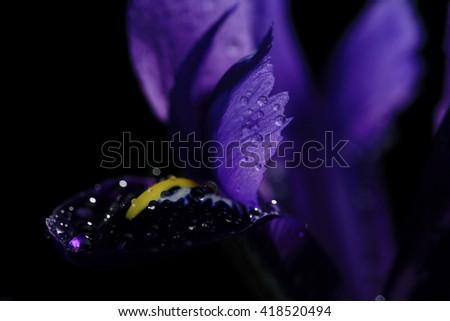 purple irises on a black background - stock photo