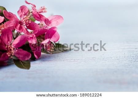Purple japanese plum blossoms on shabby blue background - stock photo