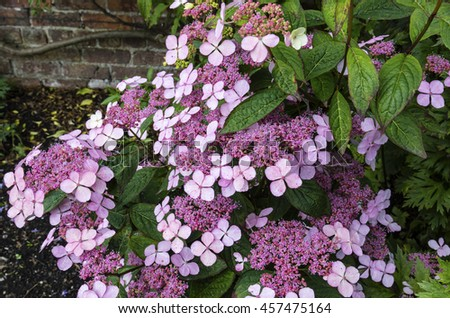 Purple Lacecap (Hydrangea macrophylla). - stock photo