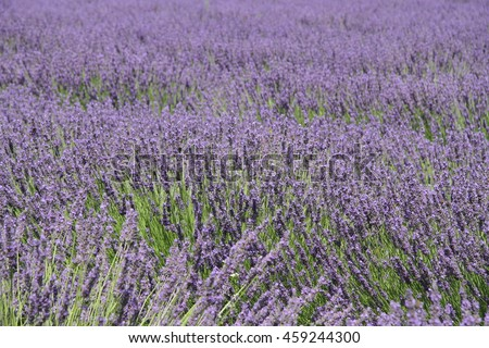 Purple lavender field in full bloom in Provence, France