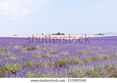 purple lavender field, wheat field on the horizon, the house and the mountains - stock photo