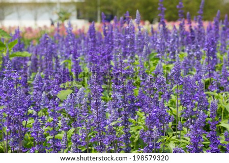 Purple lavender flowers in nature fields. - stock photo