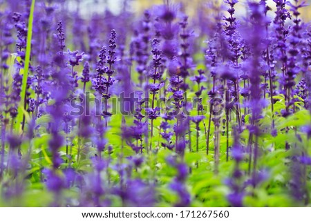 purple lavender flowers in the field - stock photo