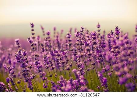 purple flowers stock images, royaltyfree images  vectors, Beautiful flower