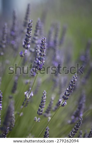Purple lavender flowers on a green background - stock photo