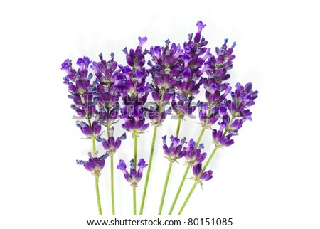 purple lavender flowers on white background