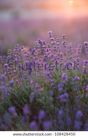 purple lavender flowers - Sunset over a summer lavender field . - stock photo