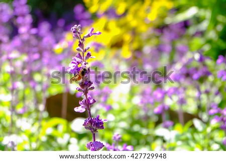 Purple lavender flowers with bee in the field,Soft  focus. - stock photo