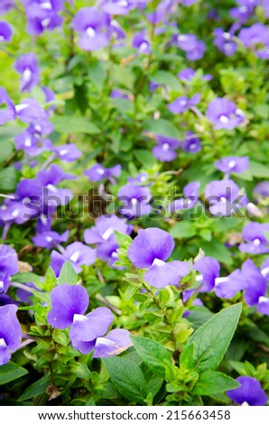 purple lavender flowers with green leaf  in the field .  - stock photo