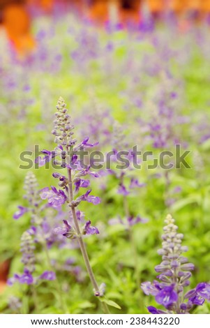 purple lavender flowers with green leaf in the field ,vintage style - stock photo