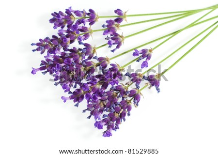 purple lavender isolated on white