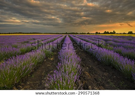 purple lavender sunset on the field