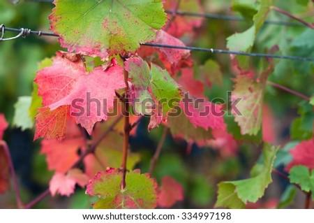 Purple leaves of red wine grape Bibor kadarka (Purple kadarka) in vineyard ready to harvest. Bibor kadarka is a Hungarian bred red wine grapes - stock photo