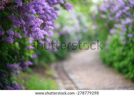 Purple lilac blossoms blooming in springtime with beautiful bokeh - stock photo