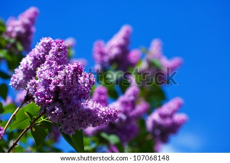 Purple lilac branch in spring against blue sky - stock photo