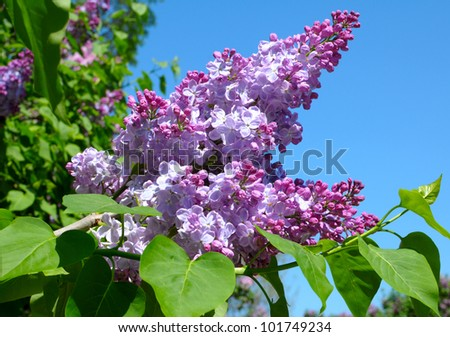 purple lilac bush blooming in May day - stock photo