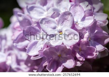 Purple lilac close-up background, shallow DOF. - stock photo