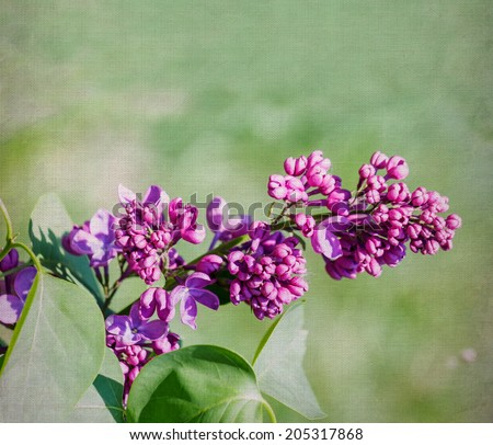 Purple lilac flower close-up over canvas background. Selective focus with shallow depth of field. - stock photo