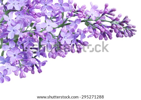 Purple lilac flower isolated on white background