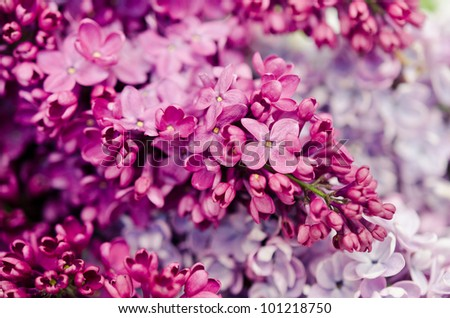 Purple lilac isolated on white background - stock photo
